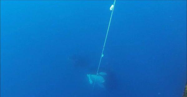 Une orque récupérant une légine sur la ligne de pêche.