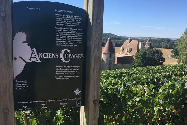 Le vignoble de Saint-Pourçain dans l'Allier a depuis 1995 un conservatoire des anciens cépages.