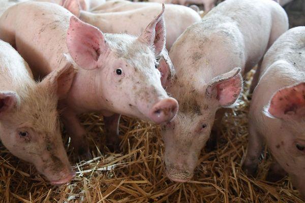 Un élevage de porcs à Bretx est touché par la maladie d'Aujeszky (Photo d'archives)