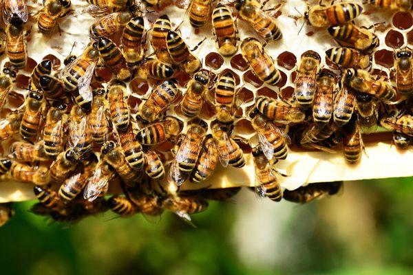 Sous certaines conditions, les apiculteurs de Nouvelle-Aquitaine pourront être indemnisés à hauteur de 100 euros par essaim. (Photo d'illustration).