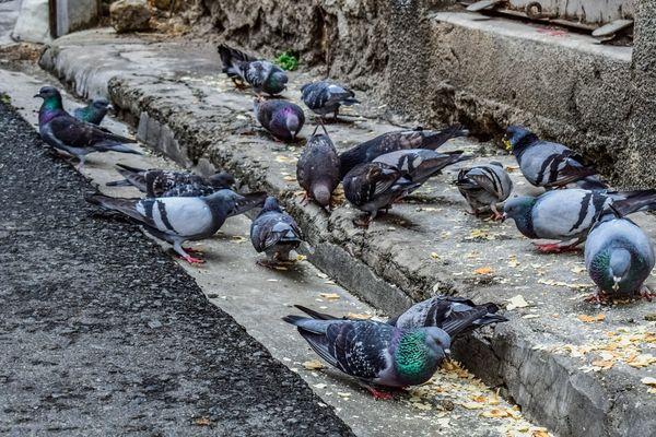 Un seul pigeon peut produire jusqu'à 12 kg de déjections par an.