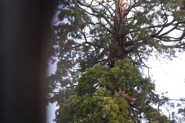 Le séquoia après son coup de foudre photographié le 20 avril 2020