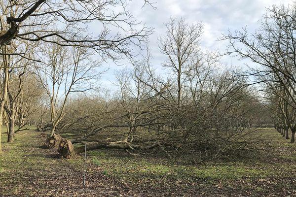 Environ 30% de la récolte de noix de Grenoble a été perdue en 2019 suite aux intempéries.