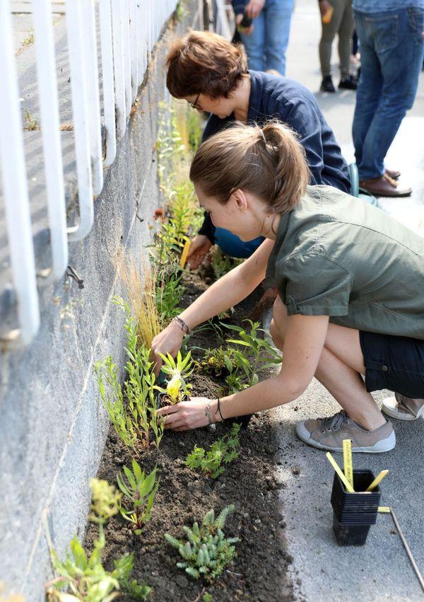 Aux abords du musée Lecoq à Clermont-Ferrand, un trottoir en cours de végétalisation.