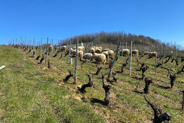 Des moutons pour remplacer les machines d'entretien dans ce domaine viticole du Jura.