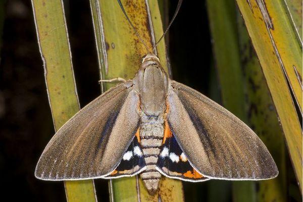 Le Paysandisia archon est reconnaissable à ses taches oranges, noires et blanches dissimulées sous ses ailes marrons.