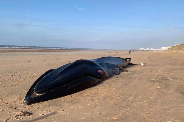 Un rorqual commun est venu mourir sur la plage des Soixante Bornes à Saint-Hilaire-de-Riez