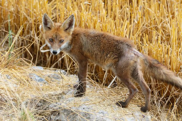 L'hypothèse d'une attaque de renard semble plus réaliste.
