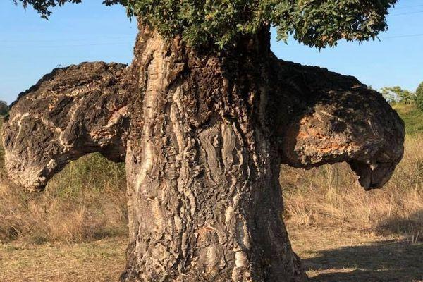 """Corse - L'Arburacellu, """"l'arbre oiseau"""", un chêne liège de Ghisonaccia (Haute-Corse)"""