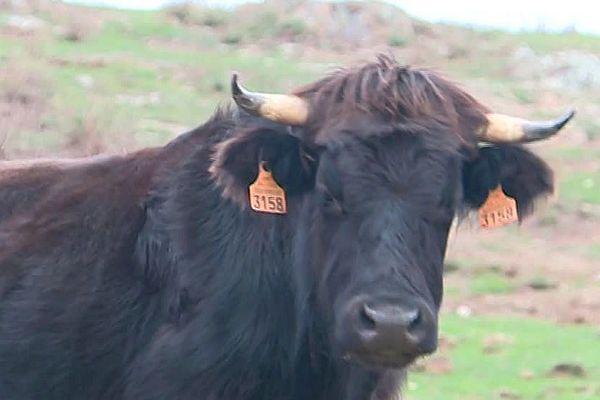 Une vache massanaise - avril 2018.