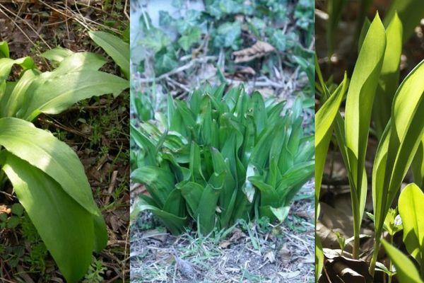 À gauche : l'ail des ours, assaisonnement apprécié ; au centre et à droite : du colchique et du muguet, deux plantes toxiques.