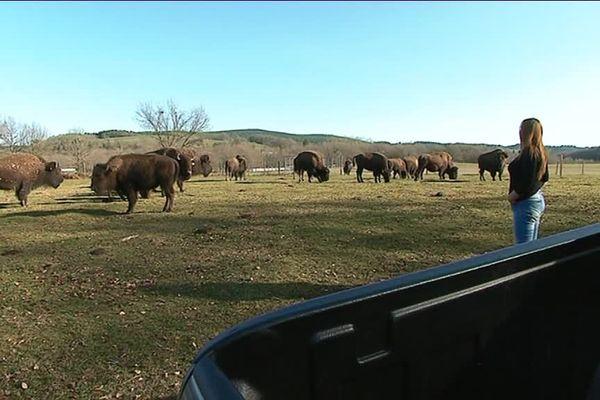 Les bisons de Florence Verheyen vont-ils paître prochainement aux pieds d'éoliennes ?
