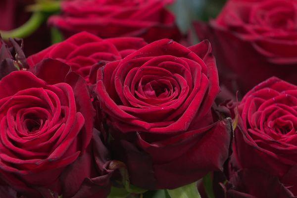 Les roses rouges sont les stars de la Saint-Valentin.