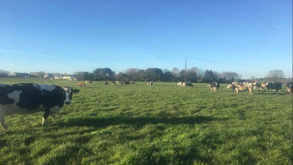 """Les vaches de la ferme """" Le P'tit Fermier de Kervihan"""""""