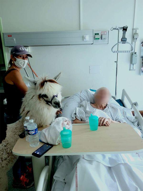 Le lama Pelochon a même pu aller dans les chambres, au plus près des patients.