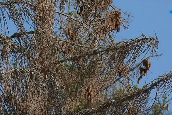 De nombreux épicéas sont touchés par le scolyte dans les forêts de Bourgogne-Franche-Comté.