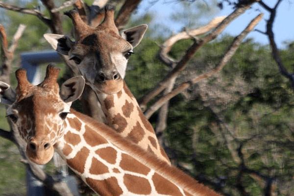Montpellier - Makalo et Ramsès, les 2 nouvelles girafes du parc de Lunaret - novembre 2015.