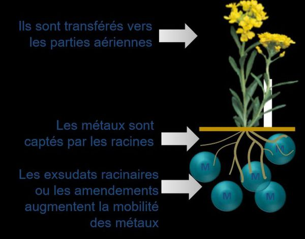 Comment fonctionnent les plantes hyper accumulatrices ?