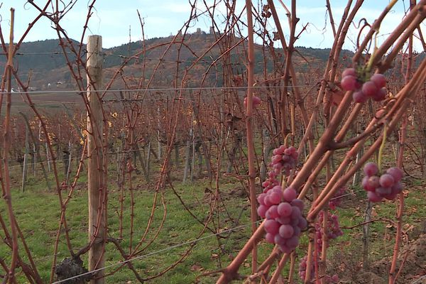 """Le domaine de la famille Mann à Eguisheim a obtenu une deuxième étoile dans le """"Guide vert"""" des meilleurs vins de France 2021."""