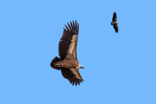 Augmentation de la population du vautour fauve dans les Pyrénées