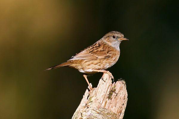C'est l'égérie de la campagne 2021 de comptage des oiseaux des jardins : l'accenteur mouchet.