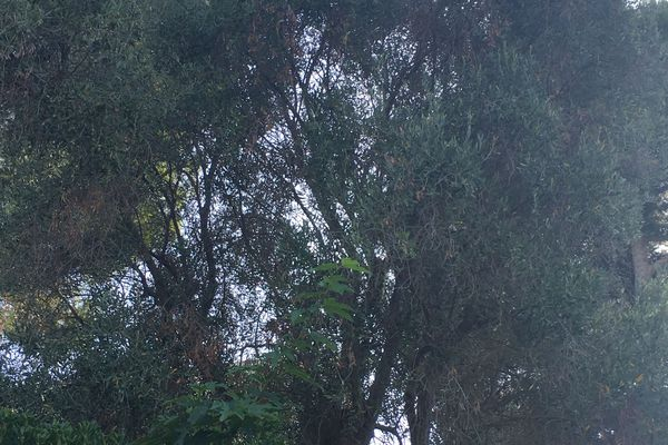 Cet olivier serait contaminé par la Xylella fastidiosa, mais pour l'heure, aucune confirmation n'a été apportée.