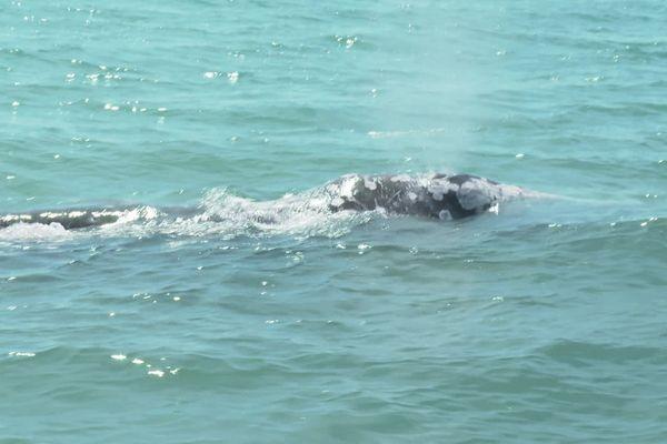 Le jeune baleineau est entré dans le Grau du Prevost - Palavas-les-Flots (Hérault) - 4 mai 2021