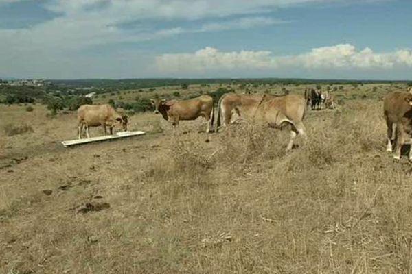 Archives. Eté 2015, sur le causse gardois, la sécheresse menace les troupeaux.