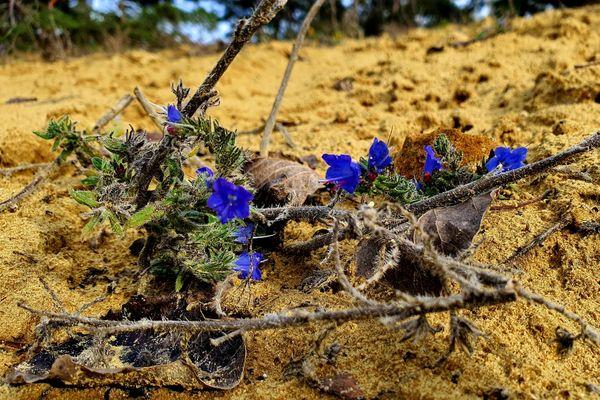 Cette petite fleur, appelée vipérine, est typique des pelouses sur sable. A la petite sablière de Châlons-sur-Vesle, moins fréquentée, les plantes sont plus nombreuses sur la dune.