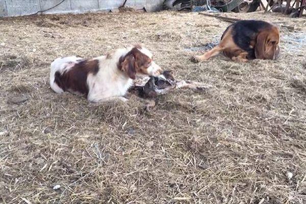 L'association One Voice dénonce les maltraitances sur des chiens de chasse dans un élevage d'Azerat en Dordogne