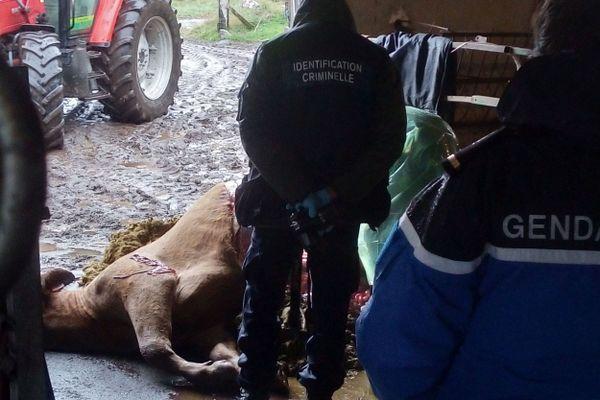 Dans cette ferme de Virargues, dans le Cantal, un veau a été retrouvé mort et mutilé dans son pré vendredi soir.