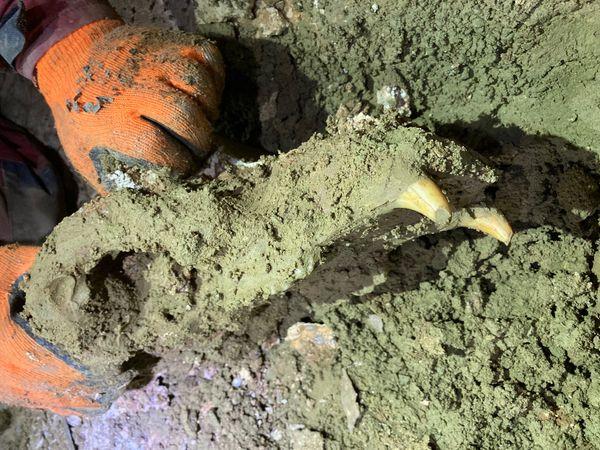 Un crâne d'ours des cavernes extirpé du sol dans une grotte du massif du Vercors.