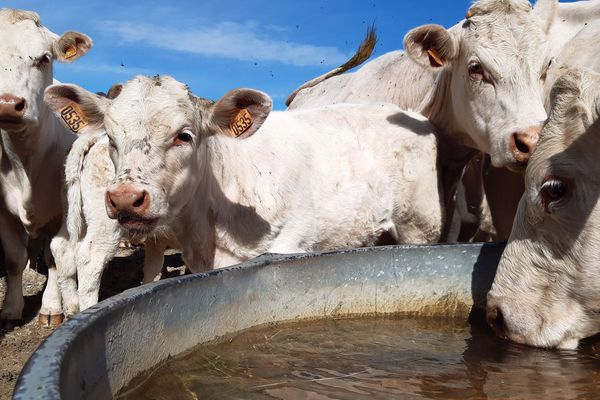 Les points d'eau sont déjà de rigueur pour certains élevages du Puy-de-Dôme (Auvergne).