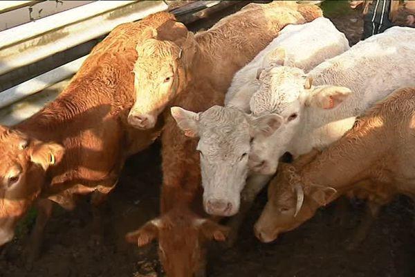 Entre 50 à 60 vaches ont pu être sauvées