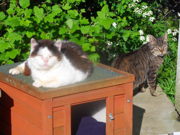 Deux chats stérilisés et nourris par l'association