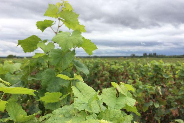 La Biodynamie demande d'observer la vigne et d'avoir une sensibilité à ce qui se passe sur le terrain