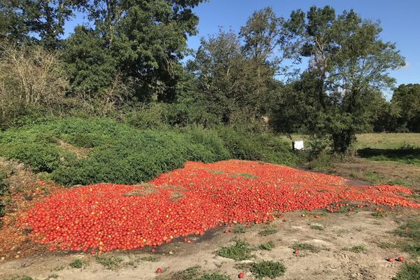 Deux à trois tonnes de tomates invendues déversées sur une parcelle à Haute-Goulaine