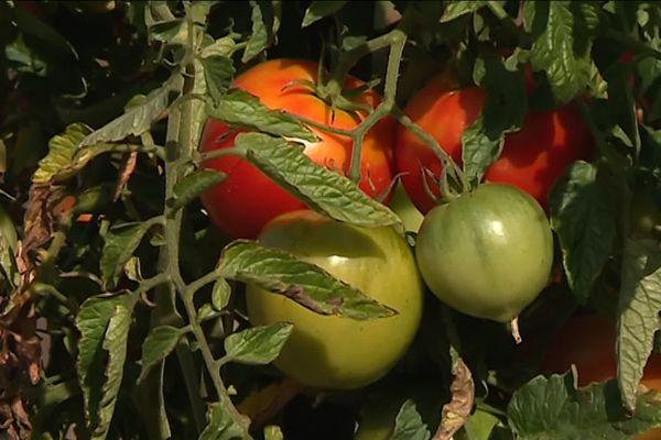 En septembre les tomates méritent d'être encouragées