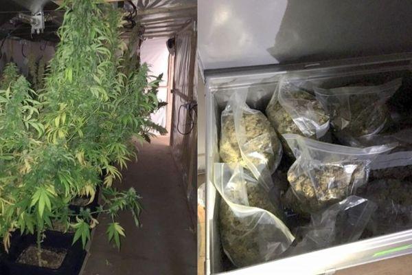 Les policiers ont découvert ces impressionnants plants de cannabis de manière totalement fortuite