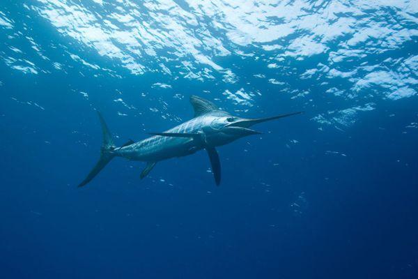 Les marlins de Méditerranée se rencontrent plus souvent dans les eaux italiennes.