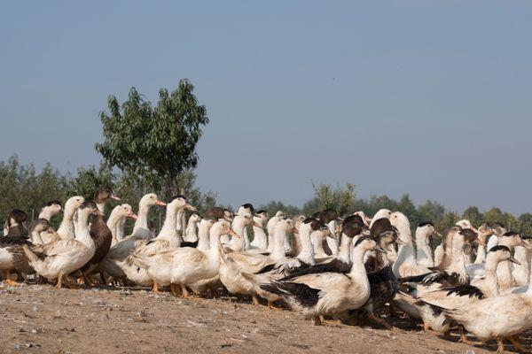 A Woellenheim, il y a plus de canards que d'habitants!