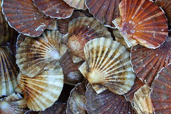 En rade de Brest, la pêche des coquilles continue jusqu'à fin mars