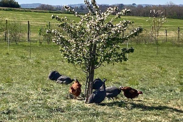 Les volailles de chair et les poules pondeuses profitent des pâturages à l'ombre des fruitiers.