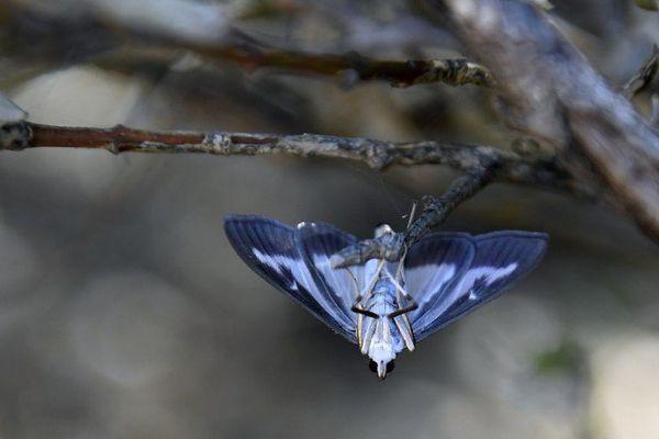 Un pyrale, une espèce de papillon observée dans le sud est de la France, reflet de la biodiversité