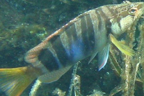 Les expériences ont été menées sur un poisson qui ne migre pas : le serran.