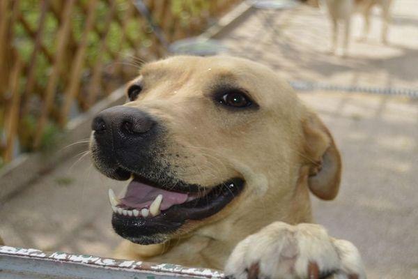 Isidore, un labrador qui a du chien !