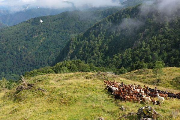 Les bergers veilleront sur deux troupeaux soit environ 150 chèvres.