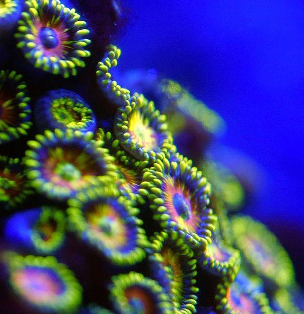 Coraux bioluminescents