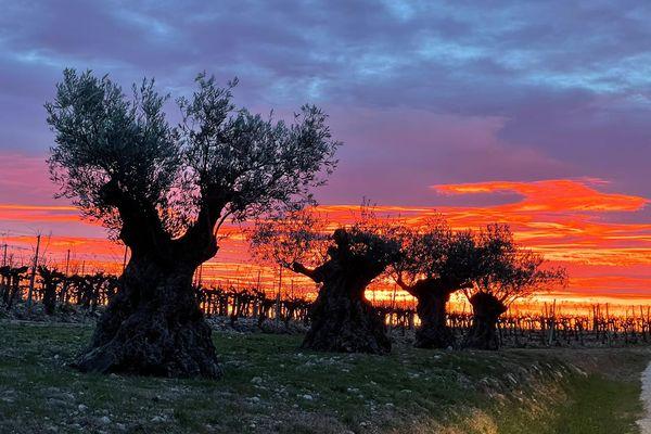 Saint-Drézéry (Hérault) - aurore rouge magnifique dans le ciel de l'Hérault au lever du jour sur les oliviers et les vignes, ce jeudi - 28 janvier 2021.