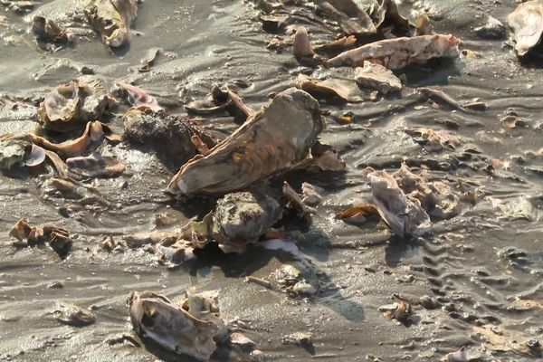 Les huîtres sauvages des friches ostréicoles sont 4 fois plus nombreuses que les huîtres d'élevage dans le bassin d'Arcachon.